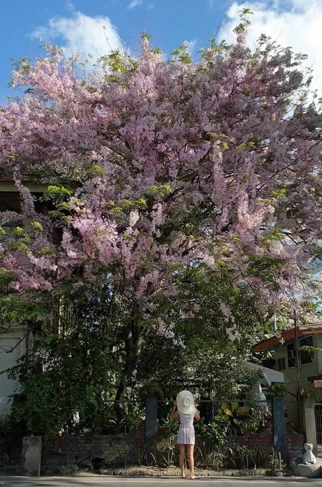 Pinoys Can Grow Cherry Blossoms At Home Here S How L Fe The Philippine Star
